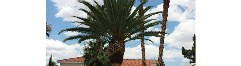 Palm Tree Service | Las Vegas Superior Tree Service | Las Vegas, NV | (702) 970-1333